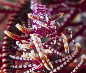 Crinoid Shrimp. Yellow